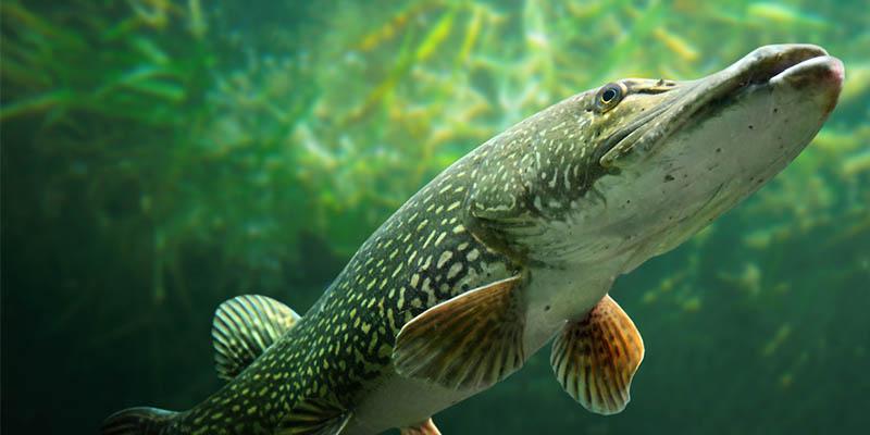Fisch des jahres 2016 for Lebensraum fische